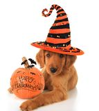 Halloween puppy. Cute Halloween puppy with a pumpkin