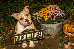 Halloween Puppy. A cute puppy trick or treating on Halloween Royalty Free Stock Photo