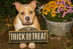 Halloween Puppy. A cute puppy trick or treating on Halloween Stock Photos