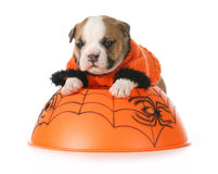 Halloween puppy Royalty Free Stock Photography