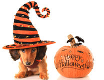 Halloween puppy and pumpkin royalty free stock photography