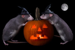 Halloween Rats Stock Photo