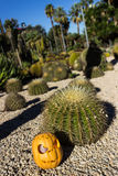 Halloween scary pumpkin on the cactuses backgroung Stock Images