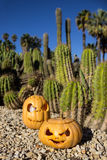 Halloween scary pumpkins on the cactuses backgroung Royalty Free Stock Image