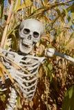 Halloween skeleton in corn stalks. In corn field of agricultural farm Stock Image