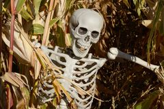 Halloween skeleton in corn stalks in corn field. At agricultural farm Stock Images