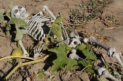 Halloween skeleton in pumpkin patch. Halloween skeleton among pumpkin vines in agricultural field of pumpkin patch Stock Photos