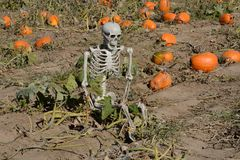 Halloween skeleton reclining in autumn pumpkin patch Royalty Free Stock Photography