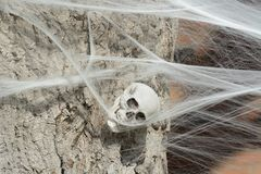 Halloween skeleton skull. Enveloped and held by white spider web royalty free stock images