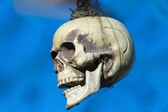 Halloween a skull hanging on its hair royalty free stock photography