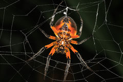 Halloween-Spinne Stockbilder