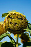 Halloween sun flower. A sun flower with a face drawn on it, ideal for Halloween stock photo