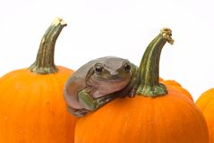 Halloween Suprise. A green frog crawling on a halloween pumpkin isolated on white Royalty Free Stock Photography