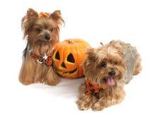 halloween terriers yorkshire royaltyfri fotografi