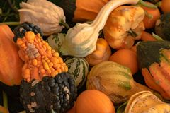 Halloween, Thanksgiving seasonal fall autumn holiday celebration background, a close up of a variety of unique unusual squash gour. Ds on display stock photos