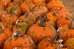 Halloween, Thanksgiving seasonal holiday celebration a variety of pumpkins on display in still life fall background celebrating ha. Rvest and agriculture in stock image