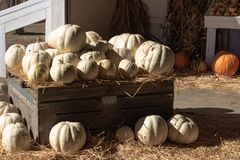 Halloween, Thanksgiving seasonal holiday celebration a variety of white pumpkins on display in still life fall background celebrat. Ing harvest and agriculture royalty free stock image