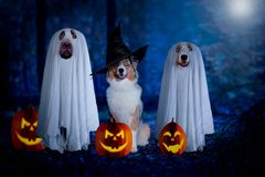 Halloween, three dogs sit disguised as ghost and witch in front royalty free stock photography