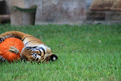Halloween tiger Stock Image