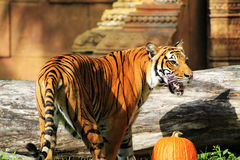 Tigress walking around tasty pumpkin on Halloween. Halloween  female tiger walking around tasty pumpkin at the zoo Stock Photo