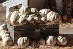 Halloween, viering van de Dankzeggings de seizoengebonden vakantie een verscheidenheid van witte pompoenen op vertoning op de ach royalty-vrije stock foto's
