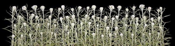 Halloween white plants  line isolated Stock Photo