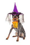 Halloween Witch Dog Royalty Free Stock Image