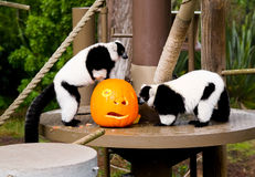 Halloween at the zoo Royalty Free Stock Photos