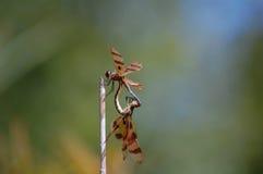 Halloweenowy banderki Dragonfly obraz stock