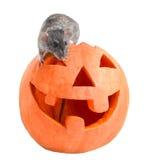 Halloweenowy szary szczur Fotografia Royalty Free