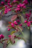Halls crab apple blossoms on a tree. Halls crab apple blossoms, bloom in early spring on short, compact trees in North America USA stock photography