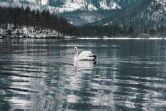 Hallstatt白色天鹅,奥地利 免版税库存照片