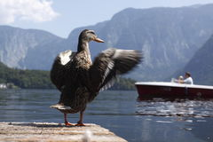 Hallstatt From Wild Duck Perspective Stock Photography