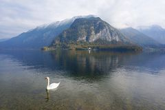Hallstatt lake. White swan on Hallstatt lake, Austria Stock Photos