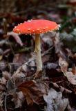 Hallucinogen champinjon i skogen Royaltyfri Bild