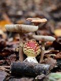 Hallucinogen champinjon i skogen Arkivfoton