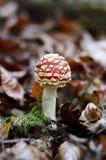 Hallucinogen champinjon i skogen Arkivbild