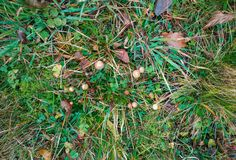 Hallucinogenic mushrooms in grass at the field royalty free stock photography