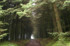 Hallway of Trees. Taken at Fernworthy Forest, with back to the longridge moor gate royalty free stock photo