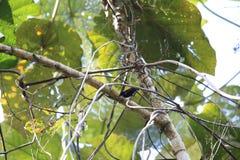 Halmahera-Paradies-Krähe Stockbilder
