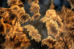 Halms of reed Stock Photo