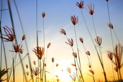 Halmtäcka blomman Sekinchan Royaltyfri Fotografi
