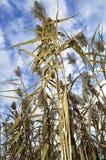 Halmtäcka växter och blå himmel Arkivbild