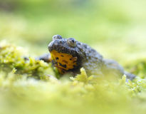 Halna brown żółta żaba Obrazy Stock