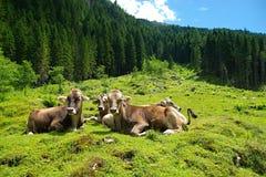 Halna dolina z krowami Obrazy Royalty Free
