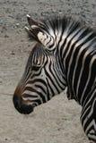 halna hartmann zebra s Zdjęcia Royalty Free
