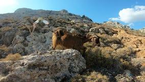 Halna kózka na skale w Grecja zbiory wideo