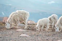 Halna kózka w lodowa park narodowy fotografia royalty free
