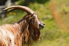 Halna Męska kózka - Włoscy Alps Obraz Stock