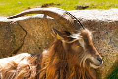 Halna Męska kózka - Włoscy Alps Obrazy Royalty Free